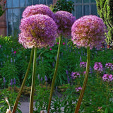 Allium 'Gladiator' - Giant Flowering Onion - GoGardenNow