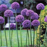 Allium 'Gladiator' - Giant Flowering Onion at GoGardenNow