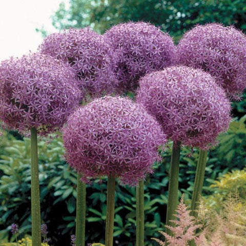 Allium 'Globemaster'  - Flowering Onion #GoGardenNow