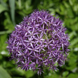 Allium 'Globemaster'  - Flowering Onion at GoGardenNow
