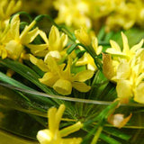 Narcissus Hawera - 100 per Box