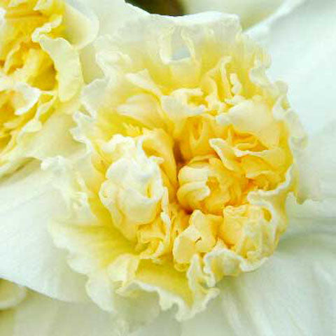 Narcissus Ice King - 50 per Box