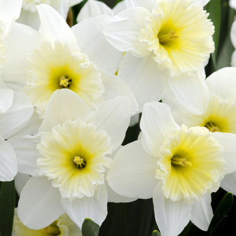 Narcissus Ice Follies - 50 per Box