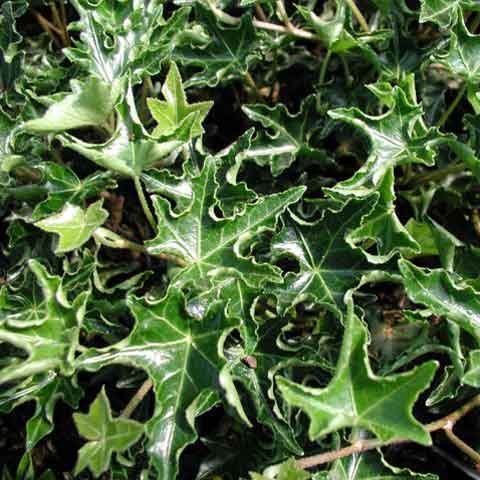 Hedera helix 'Ivalace' is ideal for indoor foliage, container gardens and topiaries