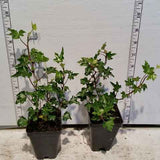 Hedera helix 'Ivalace' samples in 2-1/2 inch pots