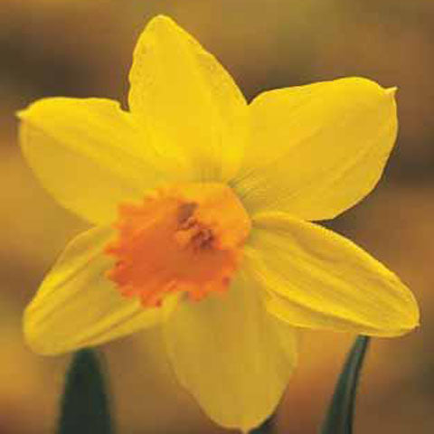 Narcissus Jetfire - 100 per Box