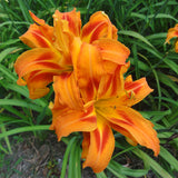 Bold, double orange flower of Kwanso daylily