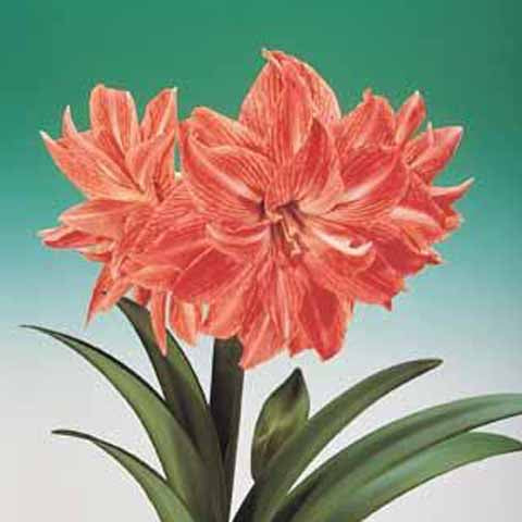 Amaryllis Lady Jane - 30+ cm, 5 Bulbs