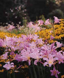 Lycoris squamigera - Surprise Lily - in landscape - GoGardenNow