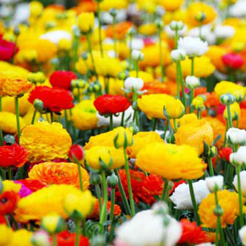 Ranunculus Mixed Doubles - 100 Bulbs