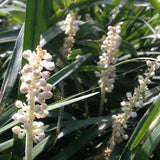 Liriope muscari 'Monroe White' closeup of white inflorescences