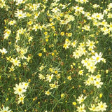 Coreopsis 'Moonbeam' displays, light yellow flowers and delicate foliage.