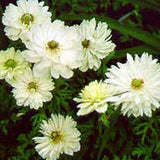 Anemone 'Mount Everest' grouop