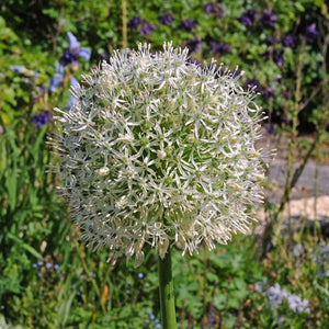 Allium 'Mount Everest' - Flowering Onion #GoGardenNow