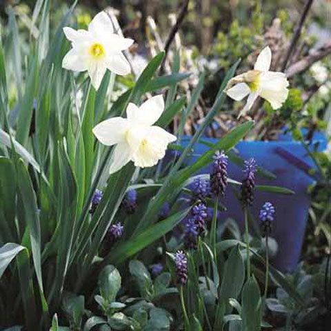 Narcissus Mount Hood - 50 per Box