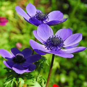 Anemone 'Mr Fokker'