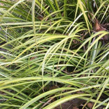 Acorus gramineus 'Ogon' is a great plant for areas with wet soil