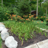 Daylily fulva Orange in planting bed