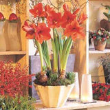 Amaryllis Orange Souvereign- 34+ cm, 5 Bulbs