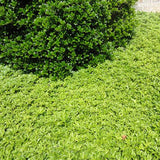 Japanese Spurge forms a dense ground cover