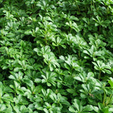 Evergreen foliage of Japanese Spurge