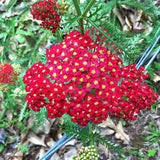 Achillea 'Paprika' distinct red blooms attract butterflies