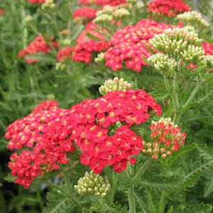 Achillea 'Paprika' dusty red flowers with fragrant foliage