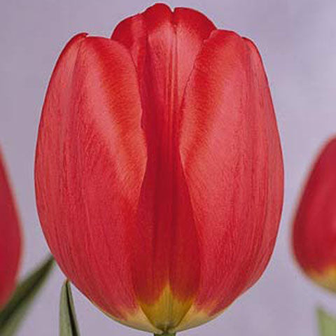 Tulip Parade - 100 per Box
