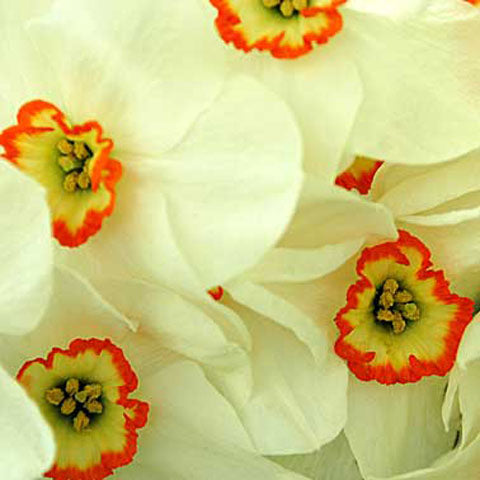 Narcissus Pheasant Eye - 50 per Box