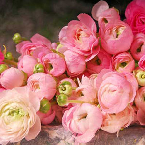Buy Ranunculus asiaticus - Persian Buttercups at GoGardenNow