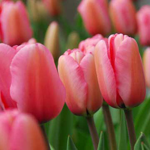 Tulip Pink Impression - 100 per Box