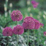 Allium 'Purple Sensation' - Flowering Onion #GoGardenNow