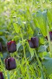 Tulip Queen of Night - 100 per Box