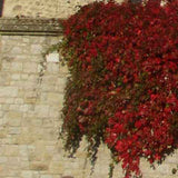 Virginia Creeper foliage turns to shades of red in fall