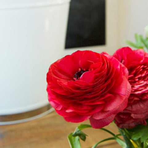 Ranunculus Red Doubles - 100 Bulbs