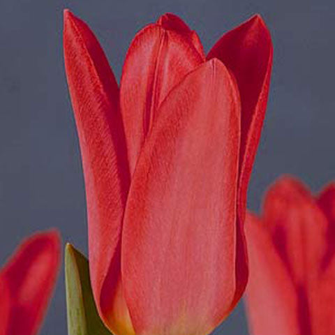 Tulip Red Emperor - 100 per Box