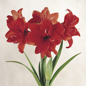 Amaryllis Red Peacock - 30+ cm, 5 Bulbs
