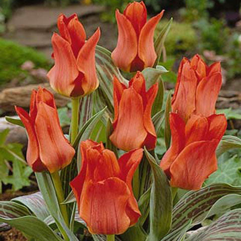 Tulip Red Riding Hood - 100 per Box