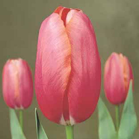 Tulip Reknown - 100 per Box