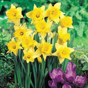 Narcissus Rijnveld's Early Sensation - 50 per Box