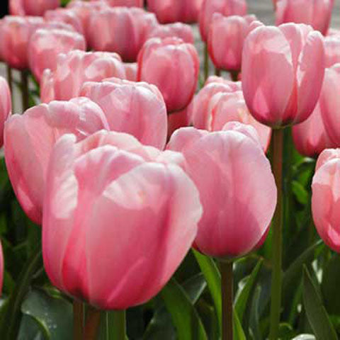 Tulip Salmon Impression - 100 per Box