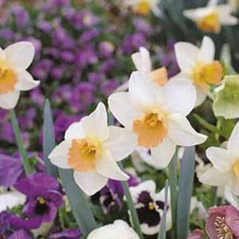 Narcissus Salome - 50 per Box