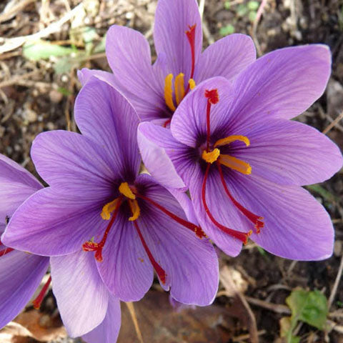 Crocus sativus - Saffron crocus bulbs - GoGardenNow