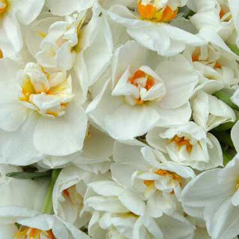 Narcissus Sir Winston Churchill - 50 per Box