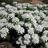 Candytuft, Evergreen Iberis is like a soft, fluffy cloud of sweet-smelling flowers in spring.