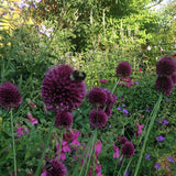 Allium sphaerocephalon - Ornamental Drumstick Onion at GoGardenNow