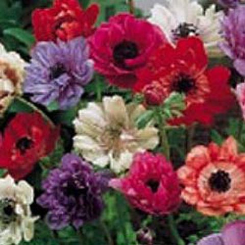 Anemone St. Brigid Mixed Colors