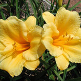 Golden yellow flowers of Daylily 'Stella de Oro'