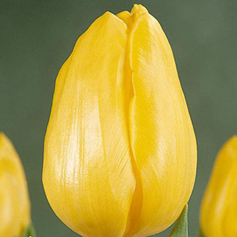 Tulip Strong Gold - 100 per Box