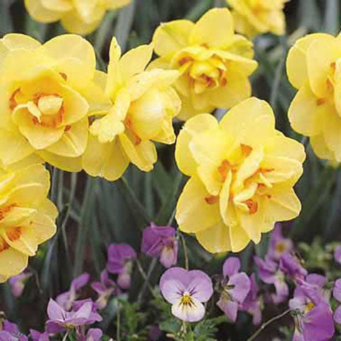 Narcissus Tahiti - 50 per Box